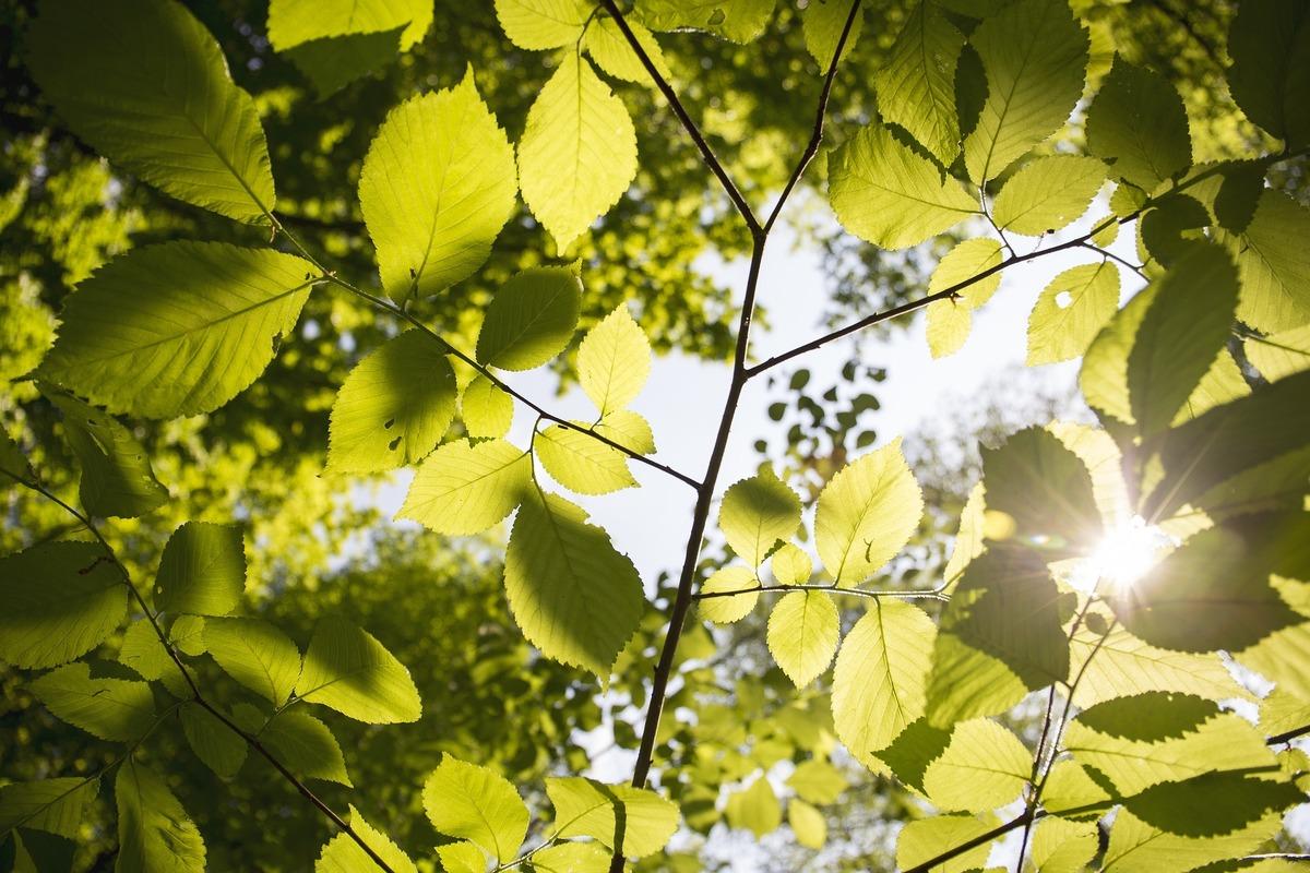 Blätter Äste